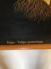 """画像8: """"TULIPA GESNERIANA"""" Vintage school Chart  (8)"""
